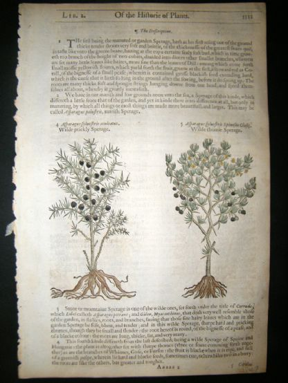 Gerards Herbal 1633 Hand Col Botanical Print. Sperage Asparagus, Thistle | Albion Prints